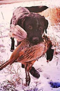 Labrador retrieving a pheasant