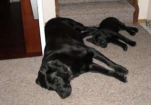 Labrador Retirever best friends