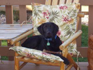Black Labrador Retriever gets comfortable on a deck chair