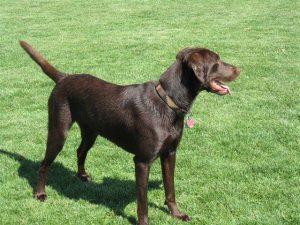 Beautiful chocolate Labrador Retriever