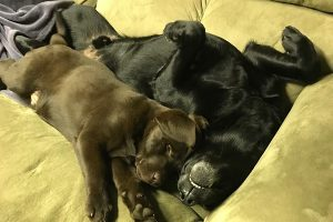 Chocolate Lab puppy and friend snuggle together