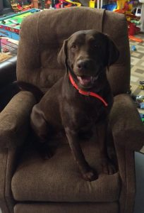 "Chocolate Lab says, ""This is my chair now."""
