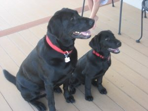 Little Mia with her buddy Diesel. Both black Labrador Retrievers