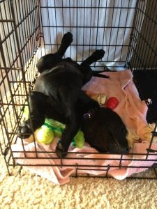 Lab puppy enjoys a nap in his crate