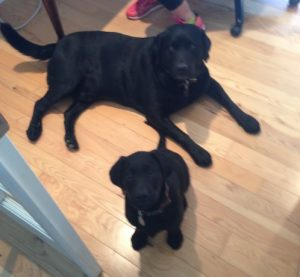 Labrador Retrievers are friendly and sweet so two males can live together