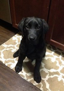 Sweet black Lab puppy