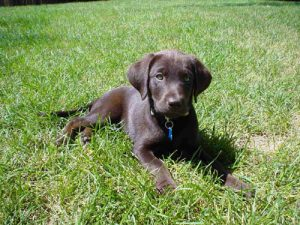 Chocolate Labrador puppy enjoying the summer sun
