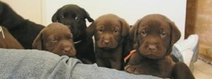 Watch some of the cute Lab puppies at Justamere Ranch