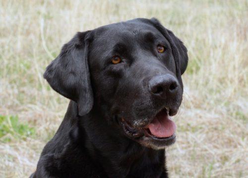 Tory - a black Labrador Retriever