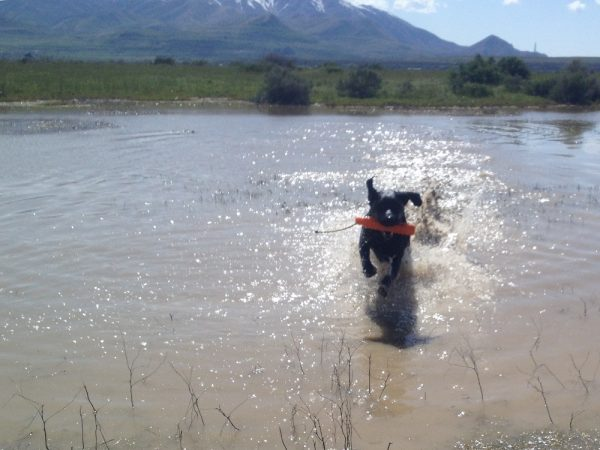 Black Lab enjoys retrieving in a mountain pond