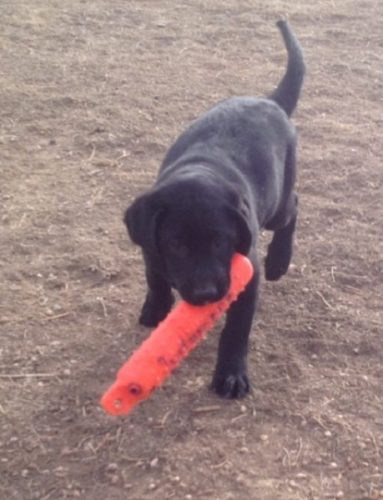 Black Lab puppy retrieving a bumper