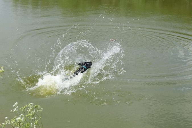 Splash living up to her name as she jumps into the pond to retrieve a duck