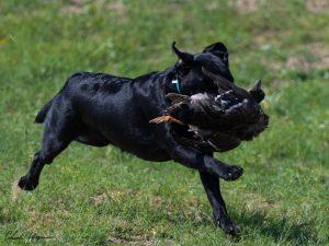 Black Labrador retrieving a duck