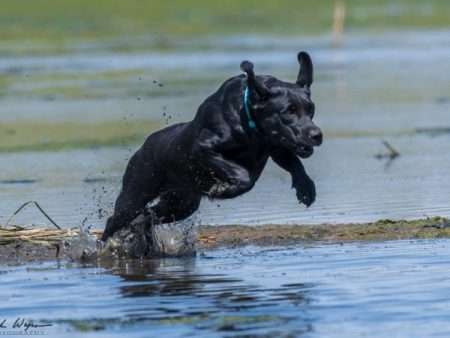 Enthusiastic black Lab launching into the water to retrieve her duck