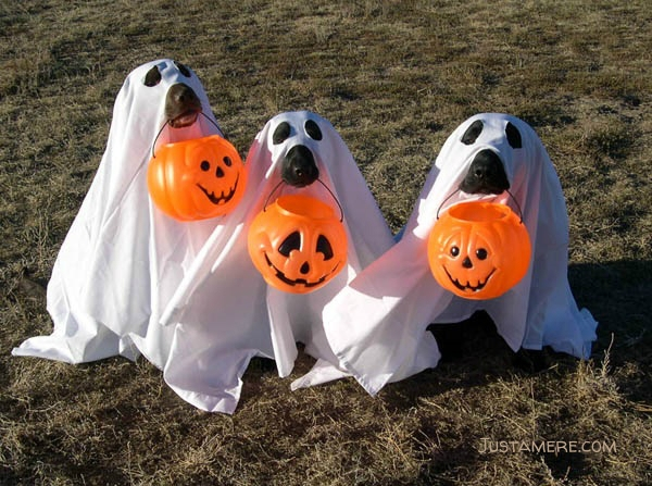 3 Labs dress up as ghosts and carry their own Jack O Latern