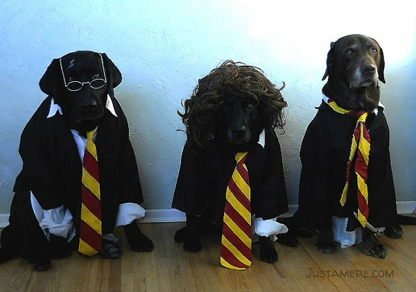 Harry, Ron and Hermoine as portrayed by three Labrador Retrievers