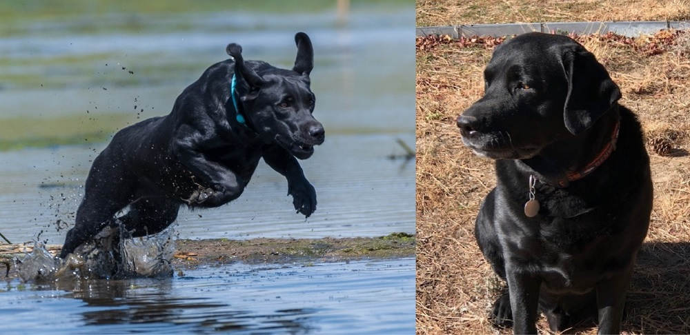 Crossing show and field bloodlines to produce a dual-purpose Labrador - Wynk and Logan