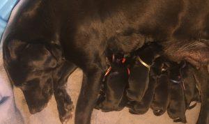 Labrador litter of puppies