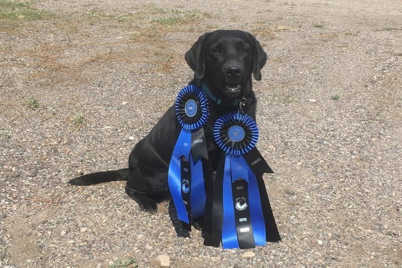 Black Lab with ribbons from retriever hunt test