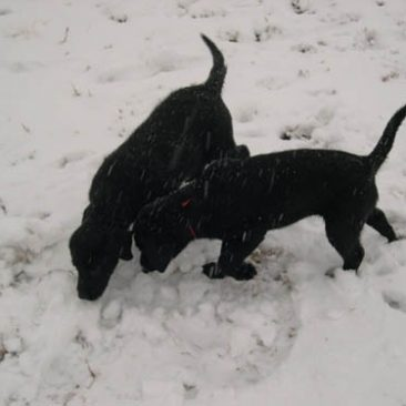 Black Labrador puppies watch other dogs retrieving