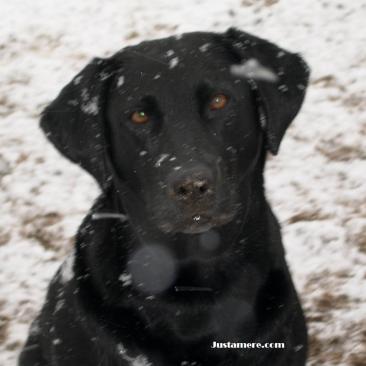 An all-around black Labrador Retriever!