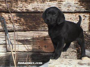 Cute black Lab puppy exploring his world