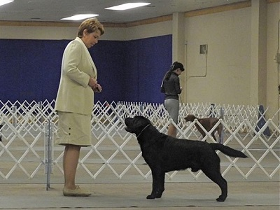 A dual-purpose Lab must be good looking and able to prove it in the show ring.