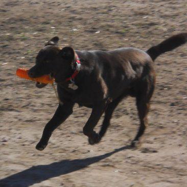 Chocolate Labrador retrieving a bumper while field training