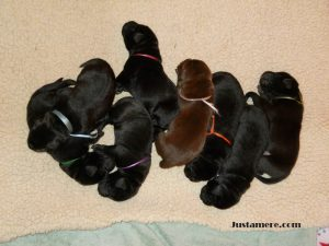 Litter of black and chocolate Lab puppies