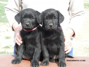 Two champion-sired female Lab puppies