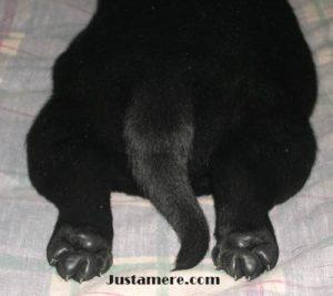 Correct Labrador is described as an
