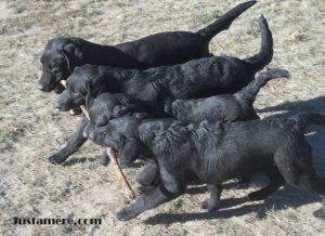 Lab puppies retrieving a large stick