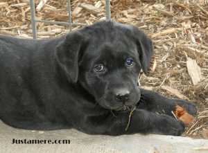 Lab puppy sired by a multi-BISS winning show dog