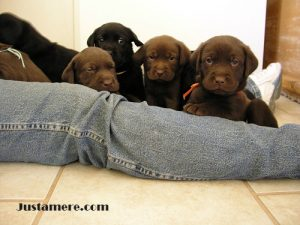 Chocolate and black Labrador puppies with broad heads and correct structure