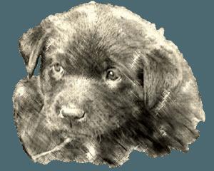 black Labrador Retriever female puppy