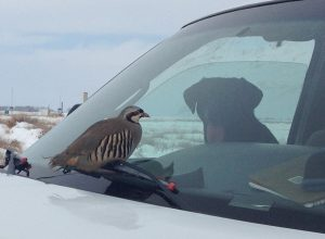 Chuckar lands on the windshield in front of a Labrador Retriever