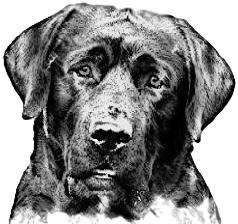 black Labrador Retriever male