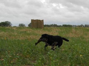 Retrieving a duck at his first hunt test