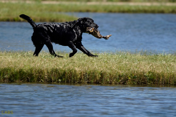 Black Labrador retrieving a duck to earn his Working Certificate (WC)