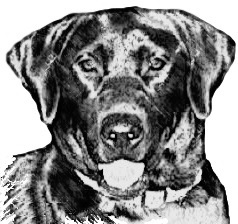Sketch of a dual-purpose black Labrador Retriever