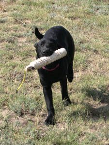 Black Labrador retrieving a bumper