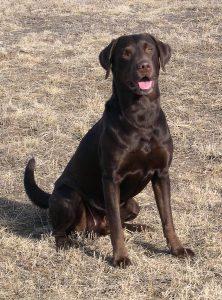 Chocolate Labrador sitting