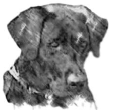black Labrador Retriever female