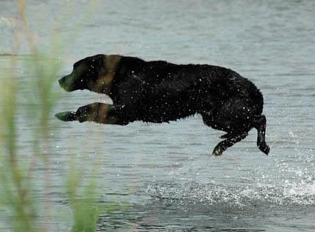 A Labrador Retriever big water entry to retrieve a duck