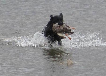 Black Labrador Retriever finishing a water retrieve