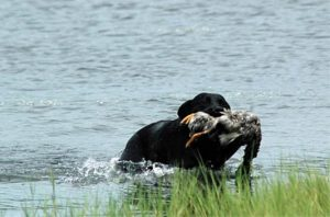 Black Lab retrieving a duck out of a pond