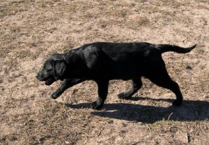 Labrador puppy showing proper structure that gives her a long, smooth stride