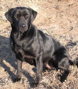 Field-bred Labrador Retriever, Raven