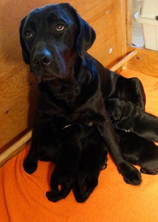 Litter of black Lab puppies