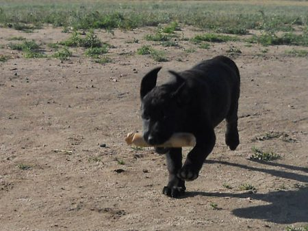 Black Lab puppy retrieves a bumper